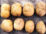 Sarı Bolu patatesi